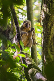 Golden Bamboo Lemur (Hapalemur Aureus) Male Eating Bamboo-Shoot Photographic Print by Konrad Wothe