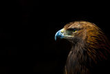 Golden Eagle (Aquila Chrysaetos) Portrait, Captive, Occurs In The Northern Hemisphere Photographic Print by Edwin Giesbers