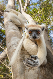 Golden-Crowned Sifaka Or Tattersall'S Sifaka (Propithecus Tattersalli) Climbing Down Tree Photographic Print by Nick Garbutt