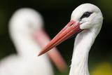 White Stork (Ciconia Ciconia) Adult Portrait, Captive, Vogelpark Marlow, Germany, May Reproduction photographique par Florian Möllers