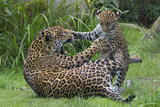 Female Jaguar (Panthera Onca) Playing With Her Cub, Captive, Occurs In Southern And Central America Photographic Print by Edwin Giesbers