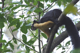 Black Giant Squirrel (Ratufa Bicolor) Gaoligong Mountain National Nature Reserve Photographic Print by Dong Lei