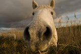 Close Up Of Nostrils Of White Horse Of The Camargue On Wetlands, Camargue, France, January 2009 Photographic Print by Jean E. Roche