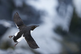 Brunnnich'S Guillemot (Uria Aalge) In Flight, Vardo, Norway, March Photographic Print by Markus Varesvuo