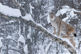 European Lynx (Lynx Lynx) Climbing A Tree, Captive, Norway, February Photographic Print by Edwin Giesbers