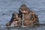 Hippopotamus (Hippopotamus Amphibius) Pair Courting, Chobe River, Botswana Photographic Print by Lou Coetzer
