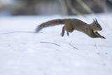 Japanese Squirrel (Sciurus Lis) Running After An Female In Oestrus In The Snow Photographic Print by Yukihiro Fukuda