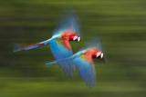 Red And Green Macaws (Ara Chloropterus) In Flight, Motion Blurred Photograph, Buraxo Das Aras Photographic Print by Bence Mate