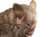 Little White-Shouldered Bat (Ametrida Centurio) Head Portrait, Surama, Guyana Photographic Print by Andrew Snyder