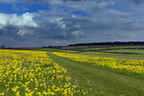 Cowslips (Primula Veris) On Conservation Headland On Organic Farm. Norfolk, UK, April Photographic Print by Ernie Janes