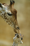 West African - Niger Giraffe (Giraffa Camelopardalis Peralta) Mother And Baby Photographic Print by  Denis-Huot