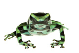 Green And Black Poison Frog (Dendrobates Auratus) Isla Pastores Photographic Print by Jp Lawrence
