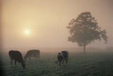 Cattle Grazing At Dawn On A Misty Morning, Dorset, England Photographic Print by David Noton