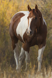 Skewbald Horse In Ranch, Martinsdale, Montana, USA Photographic Print by Carol Walker