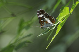 Male White Admiral Butterfly (Limenitis Camilla) Standing On Sunlit Leaves Photographic Print by Nick Upton