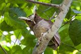 Crested Owl (Lophostrix Cristata) Lowland Rainforests Near Cristalino Jungle Lodge Photographic Print by Nick Garbutt
