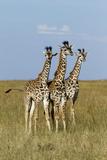 Masai Giraffe (Giraffa Camelopardalis Tippelskirchi) Juveniles, Masai Mara Game Reserve, Kenya Photographic Print by  Denis-Huot