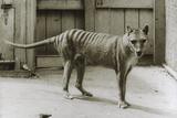 Thylacine - Tasmanian Tiger - Tasmanian Wolf (Thylacinus Cynocephalus) Last Known Individual Photographic Print by Dave Watts