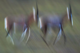 Pair Of Blesbok (Damaliscus Pygargus) Galloping Across The Open Flood Plains Of The Bushman'S River Fotografisk tryk af Neil Aldridge