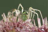 Green Lynx Spider (Peucetia Viridans) Texas, USA Photographic Print by Rolf Nussbaumer