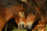 Exmoor Ponies, One Of The Oldest And Most Primitive Horse Breeds In Europe, Keent Nature Reserve Photographic Print by  Widstrand