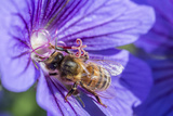 European Honey Bee (Apis Mellifera) Feeding On Flower (Geranium Sp). Monmouthshire, Wales, UK Photographic Print by Phil Savoie