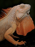 Common Iguana (Iguana Iguana) Albino, Captive, From Central And South America Photographic Print by Michael D. Kern