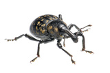 Large Pine Weevil (Hylobius Abietis), Slovenia, Europe, July, Meetyourneighbours.Net Project Photographic Print by Marko Masterl