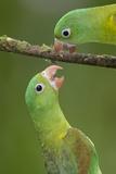 Orange-Chinned Parakeets (Brotogeris Jugularis) Interacting, Northern Costa Rica, Central America Photographic Print by Suzi Eszterhas