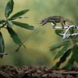 Jacksons 3-Horned Chameleon (Chamaeleo Jacksonii) Catching Cricket With Tongue. Captive Photographic Print by Kim Taylor