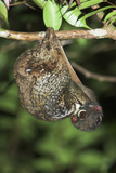 Malayan Colugo - Flying Lemur (Cynocephalus Variegatus) In Suspensory Resting Posture At Night Photographic Print by Nick Garbutt