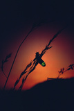 Glow Worm Beetle Female Glowing At Sunset To Attract Mate, Devon England (Lampyris Noctiluca) Photographic Print by Andrew Cooper