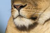 Lion (Panthera Leo) Female Close Up Of Nose An Chin, Masai Mara Game Reserve, Kenya Photographic Print by  Denis-Huot