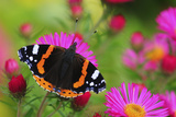 Red Admiral Butterfly (Vanessa Atalanta) On Michaelmas Daisy Flowers. Dorset, UK, October 2012 Fotografie-Druck von Colin Varndell