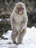 Japanese Macaque (Macaca Fuscata) Female Standing On Hind Legs In Snow, Jigokudani, Japan. February Fotografisk trykk av Diane McAllister