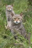 Scottish Wildcats (Felis Sylvestris), Captive, UK, June Fotografisk tryk af Ann & Steve Toon