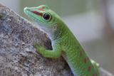 Giant Day Gecko (Phelsuma Madagascariensis Madagascariensis), Ankarana Np, Madagascar Photographic Print by Bernard Castelein