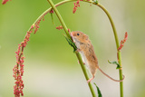 Harvest Mouse (Micromys Minutus) On Stalk, West Country Wildlife Photography Centre, Captive, June Photographic Print by David Pike