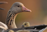 Graylag Gosling (Anser Anser) Resting Under Parent'S Wing, Pusztaszer, Hungary Photographic Print by Bence Mate