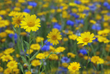 Corn Marigold (Chrysanthemum Segetum) And Cornflowers (Centaurea) In Flower, July, England, UK Photographic Print by Ernie Janes
