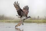 Osprey (Pandion Haliaetus) Catching Trout, Rothiemurchus Estate, Cairngorms, Scotland, UK, July Photographic Print by Ann & Steve Toon