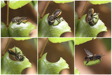 Leaf-Cutting Bee (Megachile Species) Sequence Showing Cutting Leaf Section From Rose Photographic Print by Kim Taylor