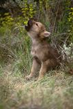 Grey Wolf Pup Howling (Canis Lupus) Captive, Montana, USA Fotografie-Druck von Tom Vezo