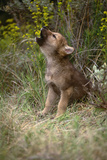 Grey Wolf Pup Howling (Canis Lupus) Captive, Montana, USA Photographic Print by Tom Vezo