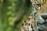 Jaguar (Panthera Onca) Close-Up Head Portrait, Captive Photographic Print by Edwin Giesbers