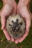 European Hedgehog (Erinaceus Europaeus) Hand Reared Orphan Held In Human Hands, Jarfalla, Sweden Photographic Print by Staffan Widstrand