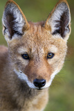 Ethiopian Wolf (Canis Simensis) Portrait Of Pup, Bale Mountains National Park, Ethiopia Fotografisk tryk af Will Burrard-Lucas