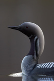 Black-Throated Diver (Gavia Arctica) On Water, Finland, May Photographic Print by Markus Varesvuo