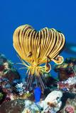 Crinoid Or Featherstar (Crinoidea Sp.) Reproduction photographique par Georgette Douwma