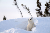 Polar Bear Cub 3 Months (Ursus Maritimus) Playing In The Front Of The Day Den In March Photographic Print by Eric Baccega